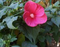 Die rote Blume der Romantik